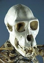 skull - wikipedia, Skeleton