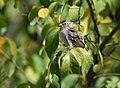 Chipping Sparrow (45036876341).jpg