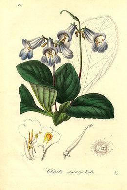 Chirita sinensis - Lemaire
