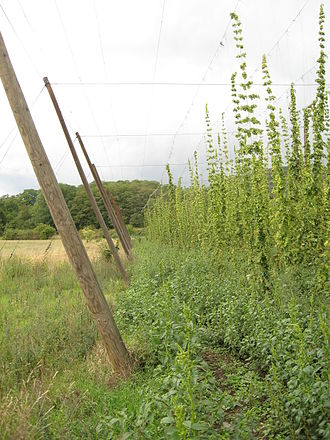 Hops - A superstructure of overhead wires supports strings that in turn support bines