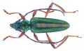 Chromalizus basalis basalis (White, 1853).png
