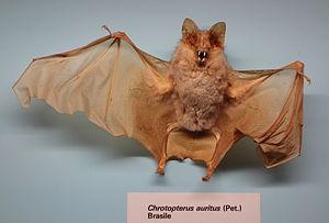 Big-eared woolly bat - Image: Chrotopterus auritus Museo Civico di Storia Naturale Giacomo Doria Genoa, Italy DSC02542