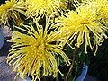 ChrysanthemumMorifolium4.jpg