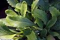 Chrysanthemum x superbum Snow Lady 1zz.jpg