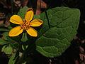 Chrysogonum virginianum - Green and Gold 2.jpg