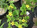 Chrysogonum virginianum australe (18249141093).jpg