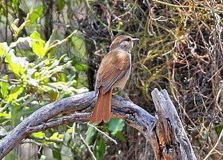 Rufous-tailed palm thrush species of bird