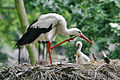 Ciconia ciconia -Artis Zoo, Netherlands -parent and chicks-8c.jpg