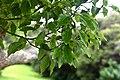 Cinnamomum camphora in Auckland Botanic Gardens 04.jpg