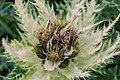 Cirsium spinosissimum in Haute-Savoie (2).jpg