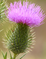 Cirsium vulgare flowerhead Anstey Hill.PNG