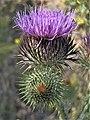 Cirsium vulgare in Armenia 01.jpg