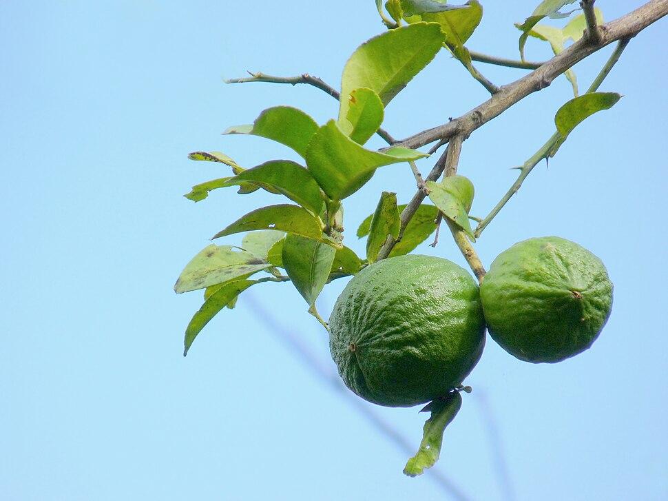 Citrus aurantiifolia in Kadavoor