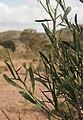 Citrus glauca foliage.jpg