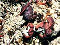 Cladonia peziziformis-2.jpg