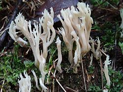 Clavulina coralloides a3 (2).JPG