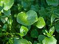 Claytonia perfoliata (4342975754).jpg
