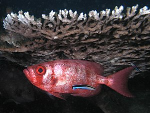 Reciprocal altruism - Cleaning symbiosis: a small cleaner wrasse (Labroides dimidiatus) with advertising coloration services a big eye squirrelfish (Priacanthus hamrur) in an apparent example of reciprocal altruism.