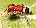 Clerid beetle.jpg