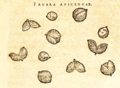 Clusius Fagara 1579 97.png