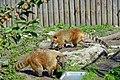 Coati roux (Zoo-Amiens).JPG