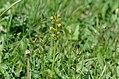Coeloglossum viride Anthese 02.jpg