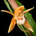 Coelogyne candoonensis (Philippines) Ames, Schedul. Orchid. 6- 18 (1923) (35690387273) - cropped.jpg