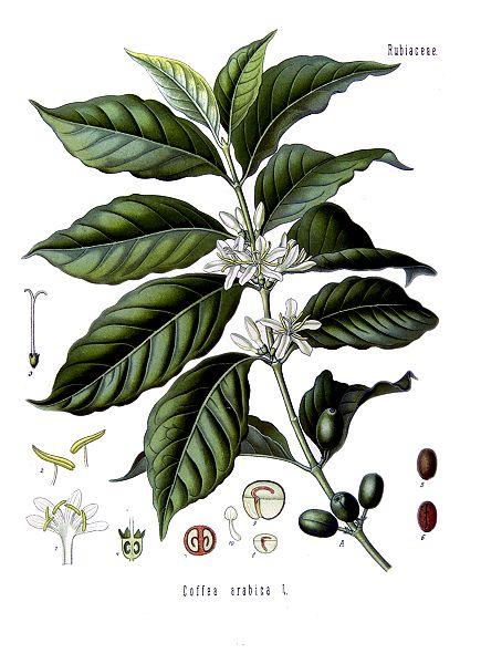 Dessin botanique du caféier.