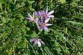 Colchicum autumnale Seiser Alm.jpg