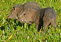 Collared Peccaries (Pecari tajacu) (31453580472).jpg
