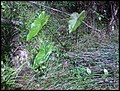 Colocasia esculenta 'Fontanesii' (L.) Schott (AM AK302116-5).jpg
