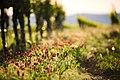 Colorful Wine Yard (213280573).jpeg