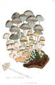 Coloured Figures of English Fungi or Mushrooms - t. 166.png
