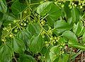Colubrina asiatica, detail.jpg