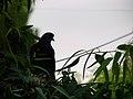 Columbidae by iran کبوتران در ایران 21.jpg