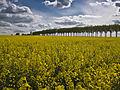 Colza route de Jouars (Yvelines)-3-cliche Jean Weber (23379398310).jpg