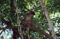 Common Brown Lemur (Eulemur fulvus) (44633940264).jpg