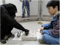 Common Chimpanzee uses spherical tool in the lab.png