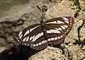Common Glider (Neptis sappho), Nera River Gorges, Romania (35452956565).jpg