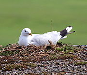 Common Gull, Larus canus on nest.jpg