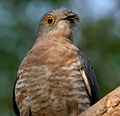 Common Hawk Cuckoo (Cuculus varius) in Hyderabad W IMG 7384.jpg