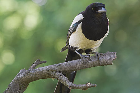 Common Magpie Lodz(Poland)(js)01.jpg