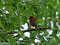 Common Rosefinch (Carpodacus erythrinus) (25696522906).jpg