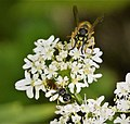 Common Wasp Vespula vulgaris with Digger Wasp Ectemnius sp. (44538990170).jpg