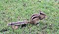 Common squirrel, Delhi..jpg