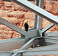 Condor, Navajo Bridge, AZ 9-15 (21824883901).jpg