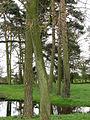 Conifer trunks - geograph.org.uk - 757418.jpg