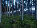 Coniferous forest in Sweden near the Svartälven river 02.jpg
