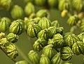 Conium maculatum fruit (07).jpg