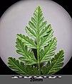 Conium maculatum sl16.jpg